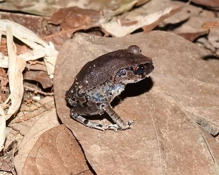 গবেষকেরা এই ব্যাঙের নাম দিয়েছেন 'সিলেটের লাল চোখ ব্যাঙ'। ইংরেজি নাম 'সিলেটি লিটার ফ্রগ' (Sylheti Litter Frog)।