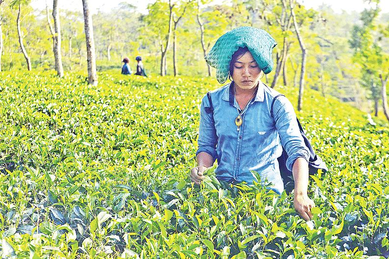 চট্টগ্রামের ফটিকছড়ির নেপচুন চা-বাগান।  ছবি: সৌরভ দাশ