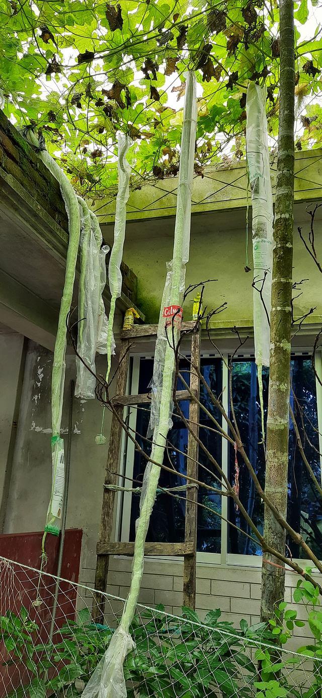 ভোলার মনপুরা উপজেলার মনোয়ারা বেগম মহিলা কলেজের অর্থনীতি বিভাগের প্রভাষক উৎপল মন্ডলের বাড়ির আঙিনায় লাগানো গাছে ধরেছে ১০ ফুট লম্বা চিচিঙ্গা