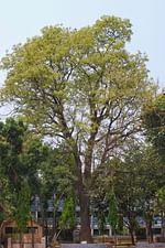 সোনাতলায় দাঁড়িয়ে আছে বিরল বৃক্ষ পারুল