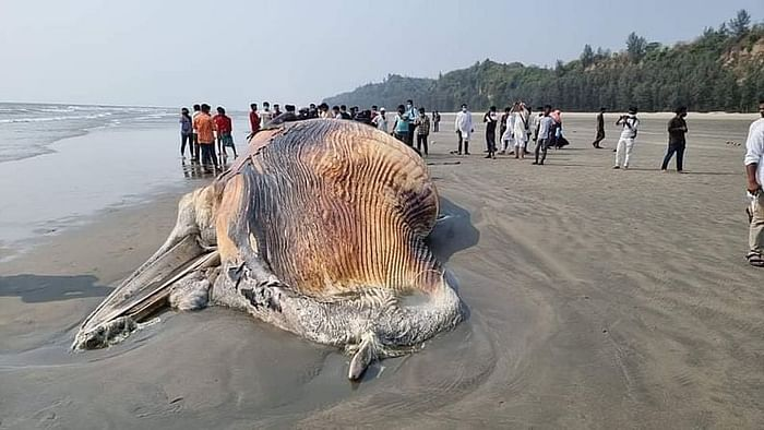 The carcass of a humpback whale washed ashore on the Himchhari beach